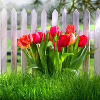 Tulips in Garden - Obrázkek zdarma pro iPad mini 2