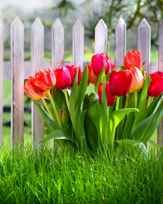 Tulips in Garden - Obrázkek zdarma pro Nokia 206 Asha