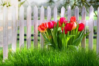 Tulips in Garden - Obrázkek zdarma pro HTC Wildfire