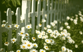 Daisy Fence Wallpaper for Android, iPhone and iPad