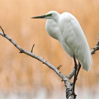 Heron on Branch - Obrázkek zdarma pro iPad 3