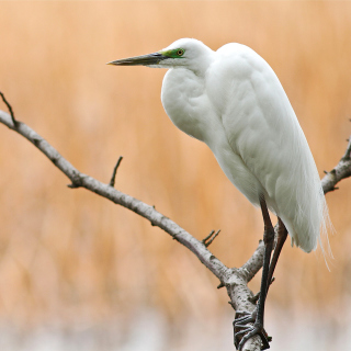 Heron on Branch - Obrázkek zdarma pro iPad mini 2