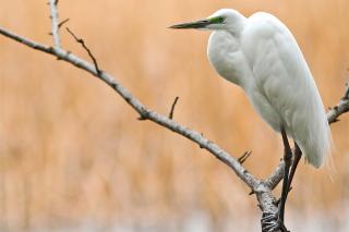 Heron on Branch - Obrázkek zdarma pro Samsung Galaxy S3