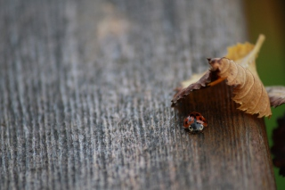 Lady Bug Hiding In Leaf Wallpaper for Android, iPhone and iPad
