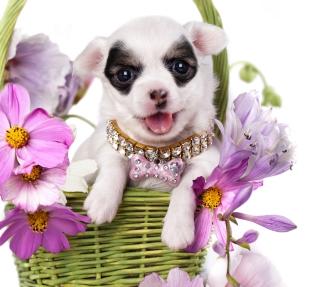 Chihuahua In Flowers - Obrázkek zdarma pro 128x128