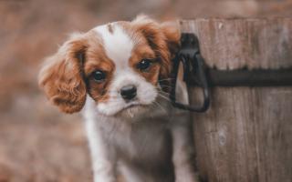 Spaniel Puppy papel de parede para celular