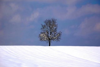 Tree And Snow - Obrázkek zdarma pro HTC Desire 310