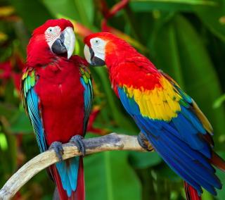 Two Macaws - Obrázkek zdarma pro 208x208