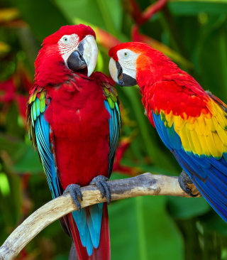 Two Macaws - Obrázkek zdarma pro 768x1280