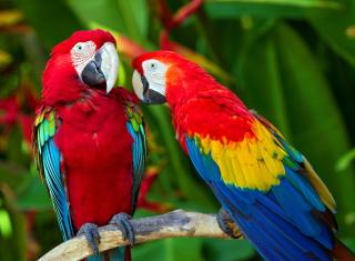 Two Macaws - Obrázkek zdarma pro 1366x768