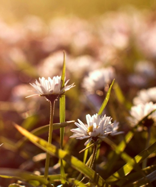 Small Daisies - Obrázkek zdarma pro Nokia Lumia 520