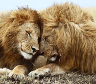Lions Couple - Obrázkek zdarma pro 1024x1024