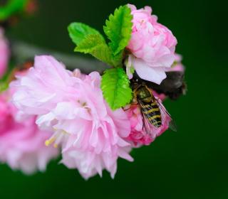 Bee On Pink Rose - Obrázkek zdarma pro 128x128