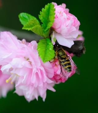 Bee On Pink Rose - Obrázkek zdarma pro iPhone 5