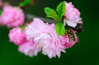 Bee On Pink Rose Picture for Android, iPhone and iPad