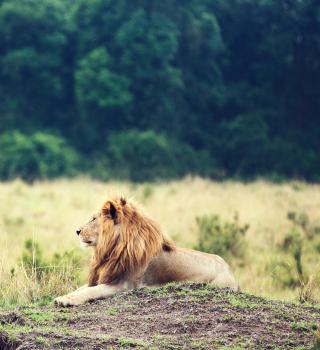 Wild Lion - Obrázkek zdarma pro iPad Air