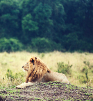 Wild Lion - Obrázkek zdarma pro 2048x2048
