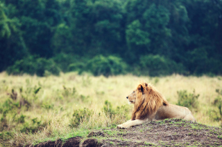 Wild Lion Background for Android, iPhone and iPad