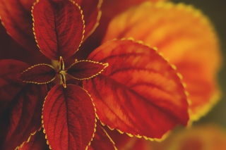 Red Macro Leaves Wallpaper for Android, iPhone and iPad