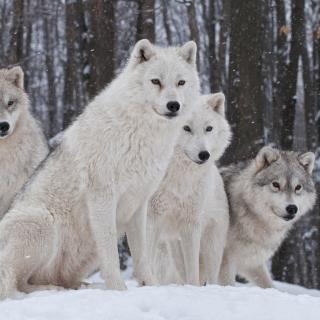 Wolf Pack Howls - Obrázkek zdarma pro iPad 3