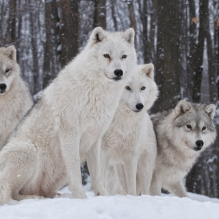 Wolf Pack Howls - Obrázkek zdarma pro 208x208