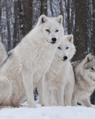 Wolf Pack Howls - Obrázkek zdarma pro Nokia Asha 306