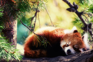 Sleeping Red Panda Background for Android, iPhone and iPad