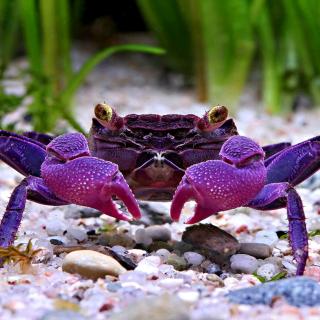 Big Crab - Obrázkek zdarma pro 2048x2048