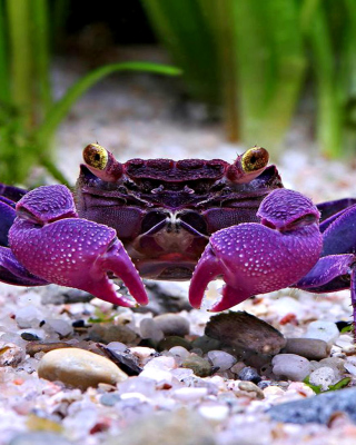 Big Crab - Obrázkek zdarma pro 640x960