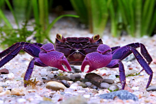 Big Crab Background for Android, iPhone and iPad