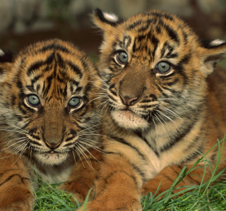 Tiger Cubs - Obrázkek zdarma pro iPad mini 2