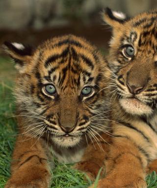 Tiger Cubs - Obrázkek zdarma pro Nokia C1-01