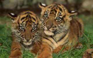 Tiger Cubs - Obrázkek zdarma pro Sony Xperia M