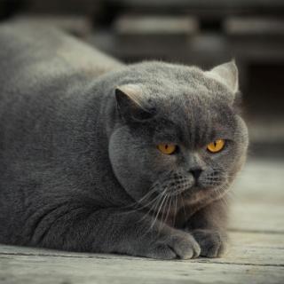 Gray Fat Cat - Obrázkek zdarma pro 208x208
