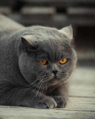 Gray Fat Cat - Obrázkek zdarma pro Nokia C6-01