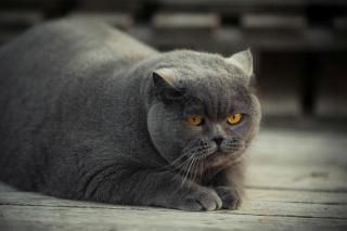 Gray Fat Cat - Obrázkek zdarma pro Fullscreen Desktop 800x600