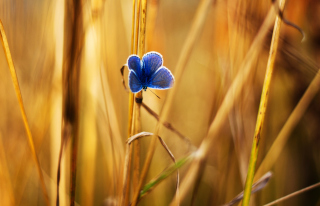 Blue Butterfly In Autumn Field Background for Android, iPhone and iPad