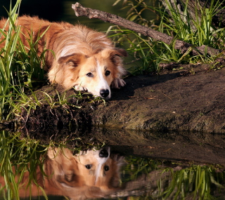 Ginger Dog Resting By Lake - Obrázkek zdarma pro iPad mini 2