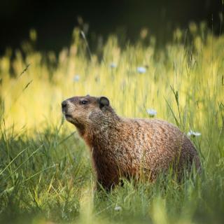 Marmot - Obrázkek zdarma pro iPad