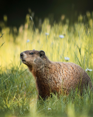 Marmot - Obrázkek zdarma pro Nokia Asha 502