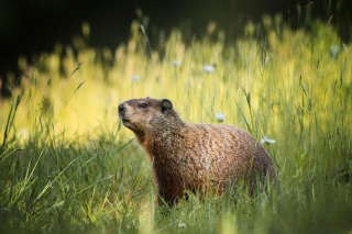 Marmot Wallpaper for Android, iPhone and iPad
