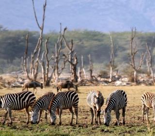 Grazing Zebras - Obrázkek zdarma pro 2048x2048