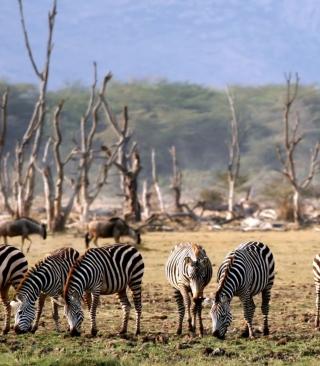 Grazing Zebras - Obrázkek zdarma pro 480x640