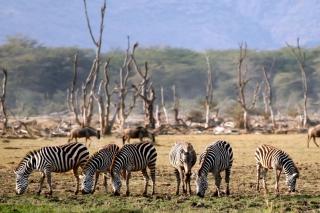 Grazing Zebras - Obrázkek zdarma pro 1024x600