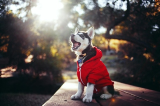 Cute Husky Puppy Background for Android, iPhone and iPad