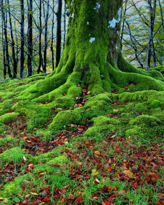 Forest with Trees root in Moss Background for Nokia X2-02