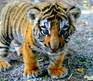 Cute Tiger Cub - Obrázkek zdarma pro iPad mini 2