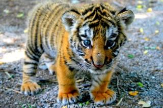 Cute Tiger Cub - Obrázkek zdarma pro Nokia X5-01