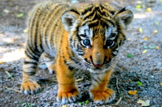 Cute Tiger Cub - Obrázkek zdarma pro LG P970 Optimus