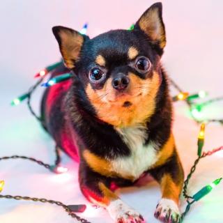 Chihuahua Dog - Obrázkek zdarma pro iPad mini